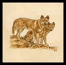 Dingoes